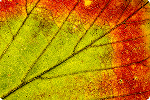 Workshop | Doorzichtmacro herfstblad