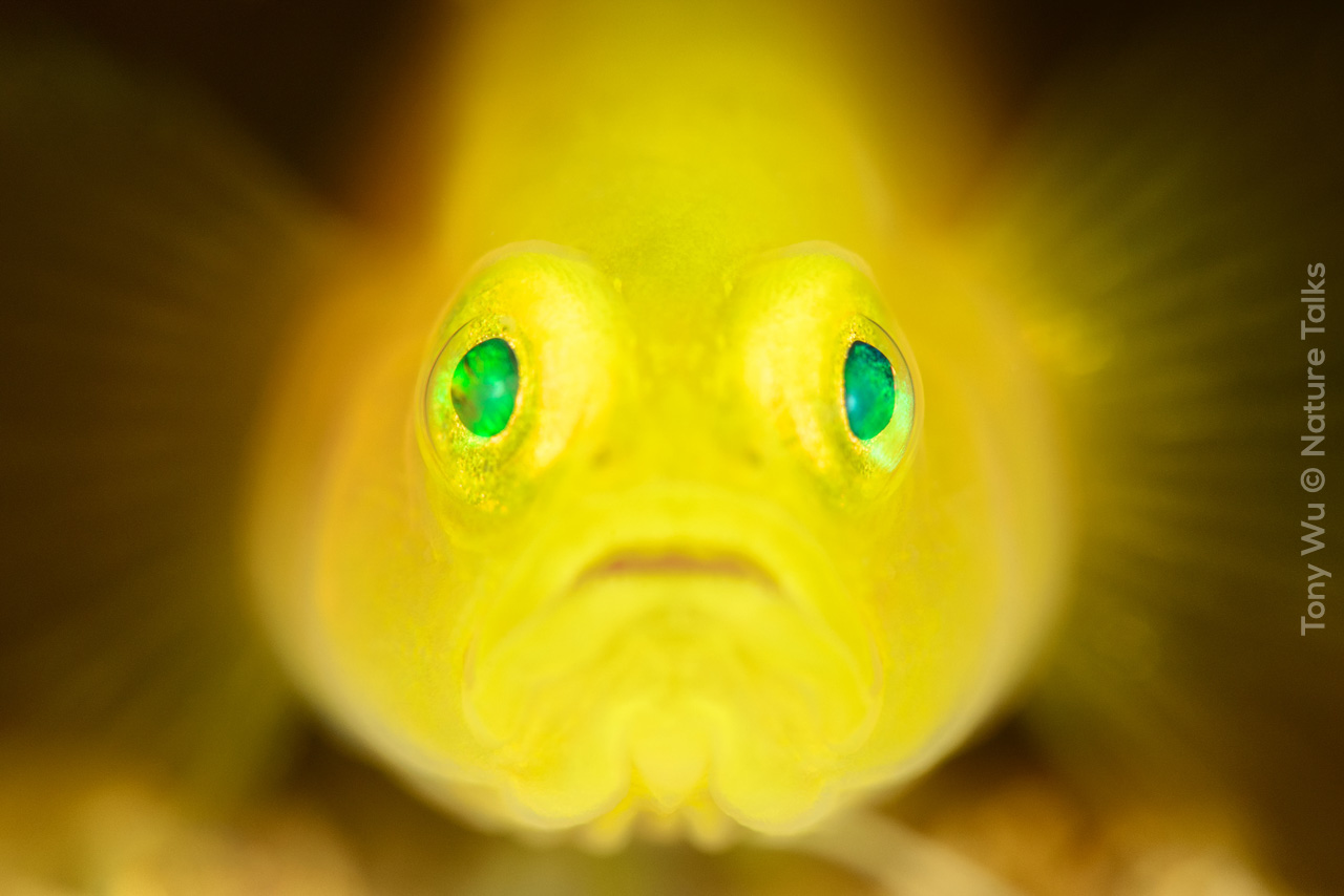 Kopie van Tony_Wu-Nature_Talks_Photo_Festival_2019-natuurfotografie-1280x853-lubricogobius-exiguus-super-macro-portrait-japan-201705-1632